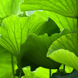 The design of lotus leaf Stock Photos