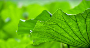 The design of lotus leaf Stock Photography