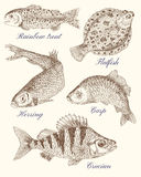 Design set with various fish, graphic drawings. Design set with variation of freshwater and saltwater fish, hand drawn illustration Royalty Free Stock Images