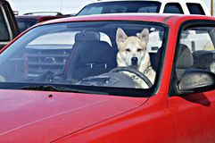 Designated driver 1. Dog behind the wheel in a parking lot waiting for it's owner Stock Photos