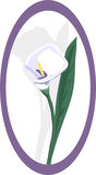 Designer Calla Lily. The elegance of the Calla Lily flower can not be surpassed Royalty Free Stock Photo