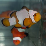 Designer clownfish. Profile of a geneticly designed clownfish Royalty Free Stock Images