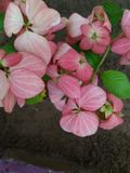 Designer Pink Flower Background Royalty Free Stock Photo