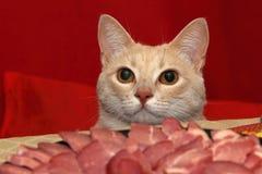 Desigual antes del gato Fotos de archivo