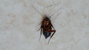 Desinficering krypcloseup, brun kackerlacka under insekticid, arkivfilmer