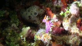 Desirable flabellina Flabellina exoptata  nudibranch stock video