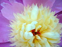 Desire. An explosion of color, a Delicious Dahlia inviting all to participate in the sonde of flowers Royalty Free Stock Images