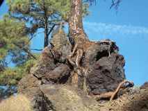 The desire of life. Pine growing from lava stone, Tenerife, Canary islands, Spain stock images