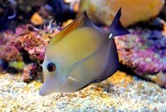 Desjardin's Sailfin or Red Sea. Sailfin Tang fish in aquarium royalty free stock image
