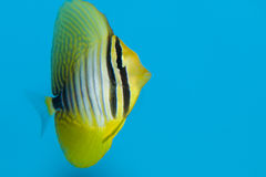 Desjardin's Sailfin or Red Sea Sailfin Tang Stock Photo