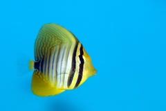 Desjardin's Sailfin or Red Sea Sailfin Tang Royalty Free Stock Photography