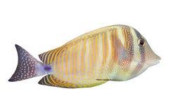 The Desjardin's Sailfin Tang (Zebrasoma Desjardini). Royalty Free Stock Image
