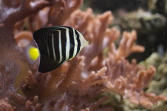 Desjardin sailfin tang Stock Photography