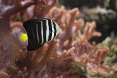 Desjardin sailfin tang Stock Photography