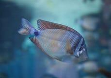 desjardini鱼特性 库存照片