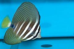 Desjardini Sailfin Tang in Aquarium Royalty Free Stock Image