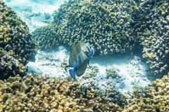 Desjardinii di Zebrasoma Fotografia Stock