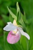 Deslizador de señora llamativa (reginae del Cypripedium) Fotos de archivo libres de regalías
