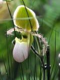 Deslizador de Venus - Paphiopedilum en flor Foto de archivo