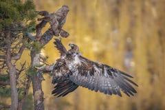 Deslizamento da águia dourada imagens de stock