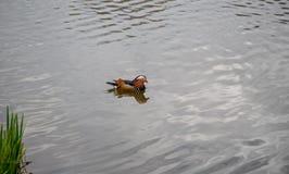 Deslizamiento masculino del pato de mandarín Fotografía de archivo