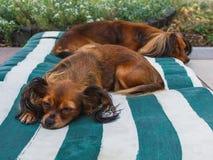 Deslizar superado de dois cães exterior Russo Toy Terri de cabelos compridos fotografia de stock royalty free