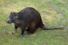 Desmarest的hutia (Capromys pilorides),亦称古巴人 库存图片