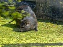 Desmarest ` s Hutia, Capromys pilorides,是大树啮齿目动物 免版税库存照片