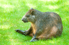 Desmarest's Hutia Stock Photo