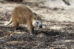 Desmarest hutia on the beach. Desmarests hutia (Capromys pilorides), also known as the Cuban hutia on the beach in caribik stock photography