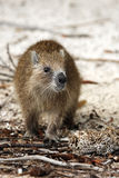 Desmarest`s hutia. Capromys pilorides, also known as the Cuban hutia on the beach royalty free stock image