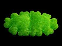 Desmid alga, Euastrum oblongum Stock Image