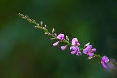 Desmodium sessilifolium Royalty Free Stock Photography