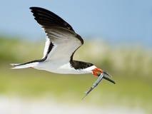 Desnatadora negra en vuelo con los pescados Foto de archivo libre de regalías