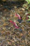 Desovando a morte de Salmon Swim Stream Close To dos peixes imagem de stock royalty free