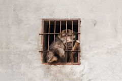 Despairing monkey in a cage Royalty Free Stock Photography