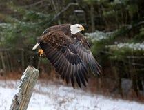 Despegue de Eagle calvo Fotos de archivo