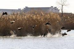 Despegue de los patos salvajes Imagen de archivo libre de regalías