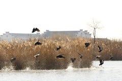 Despegue de los patos salvajes Foto de archivo libre de regalías