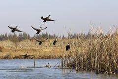 Despegue de los patos salvajes Fotos de archivo