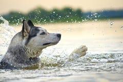 Desperaccy pływaczek husky Fotografia Royalty Free