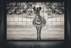 Desperacka zebra obraz royalty free