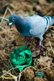Desperate pigeon drinking water from plastic cup made of bottle bottom royalty free stock photos