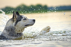 Desperate swimmer Huskies Royalty Free Stock Photography