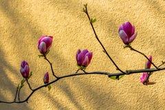 Despertar da mola de um arbusto da magnólia fotos de stock royalty free