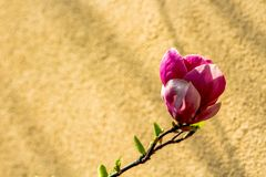 Despertar da mola de um arbusto da magn?lia fotografia de stock
