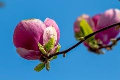 Despertar da mola de um arbusto da magn?lia imagens de stock royalty free