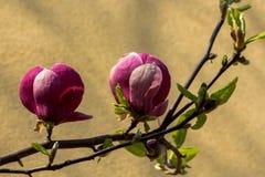 Despertar da mola de um arbusto da magn?lia foto de stock royalty free