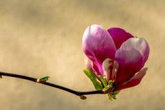 Despertar da mola de um arbusto da magn?lia fotografia de stock royalty free