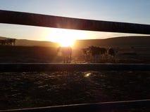 Despierte al ganado foto de archivo libre de regalías